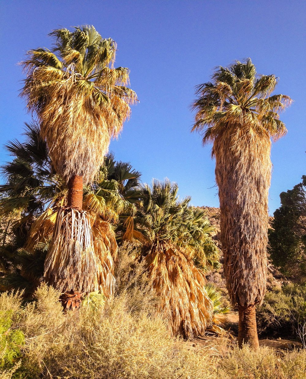 The desert fan palm oasis at Cottonwood Springs